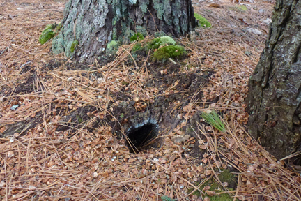 Chipmunk hole surrounded by bits of pine cone
