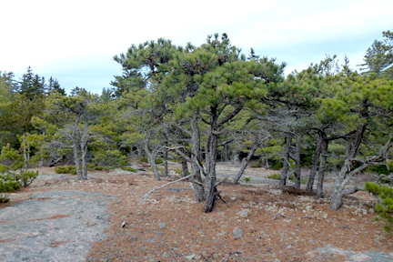 Pitch Pine grove in Otter Creek, Maine