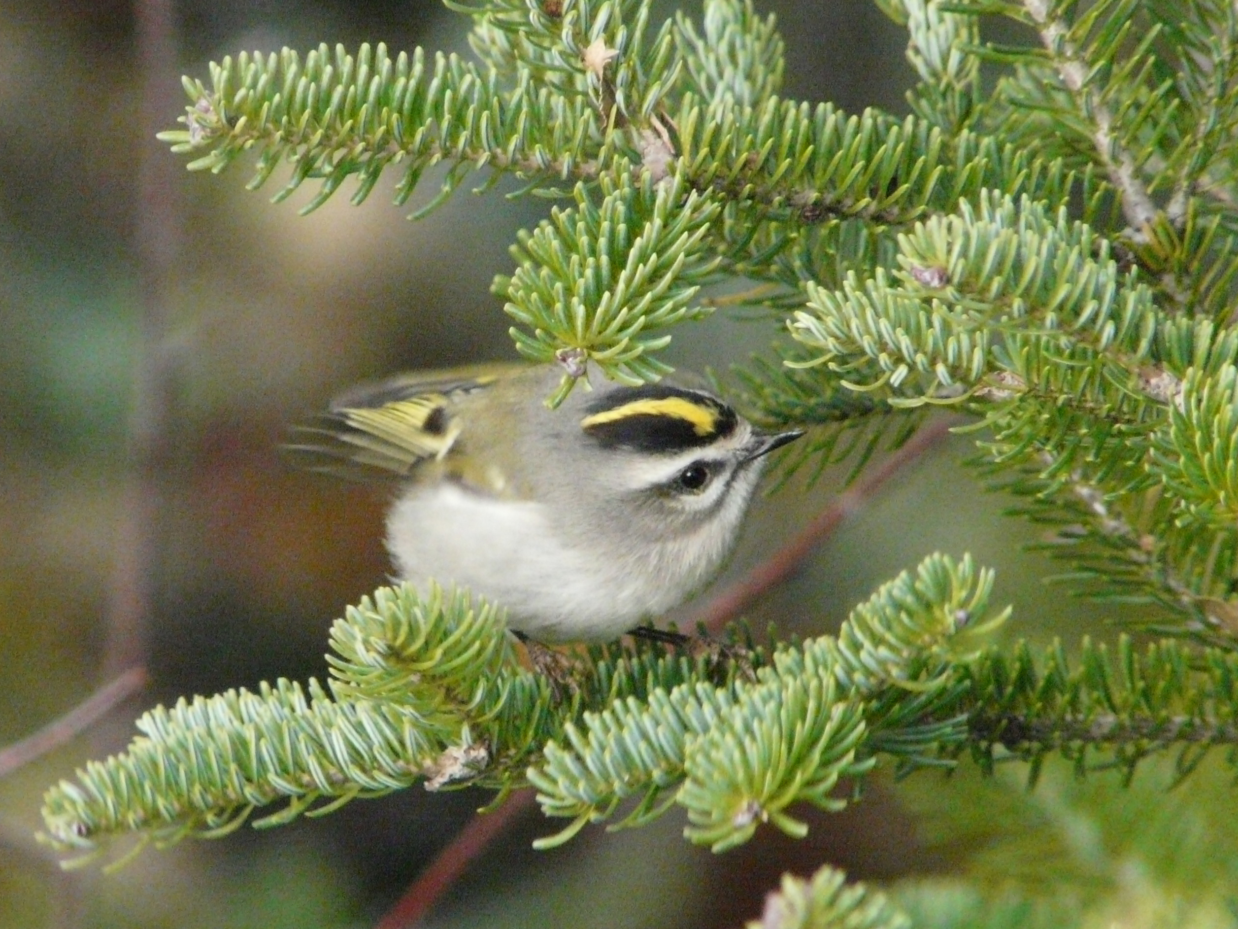 Golden-crowned kinglet, 24 Oct 2010 (©2010 Brian Willson)