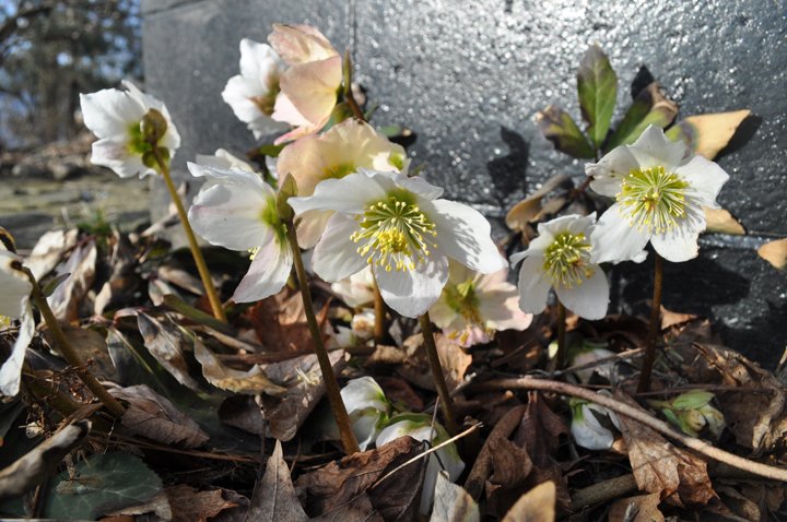 Helleborus Niger in Otter Creek