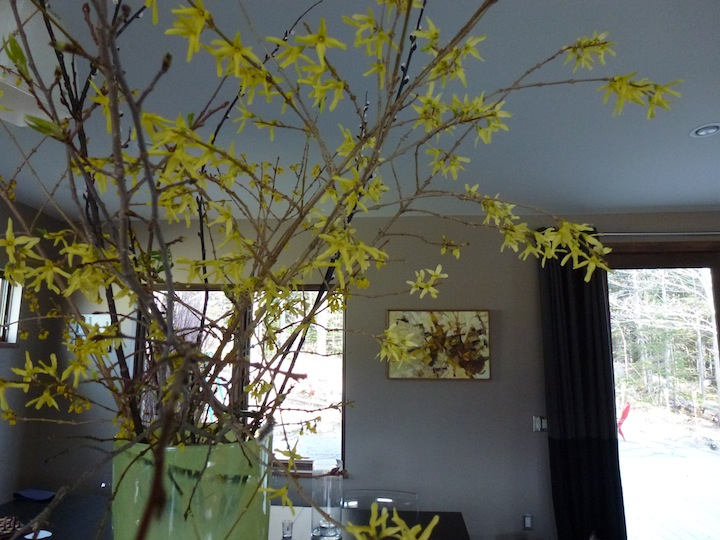 The third round of forsythia. It takes less time to forces them open as we get closer to spring.