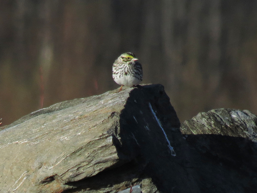 King Of The Mountain, Savannah Sparrow
