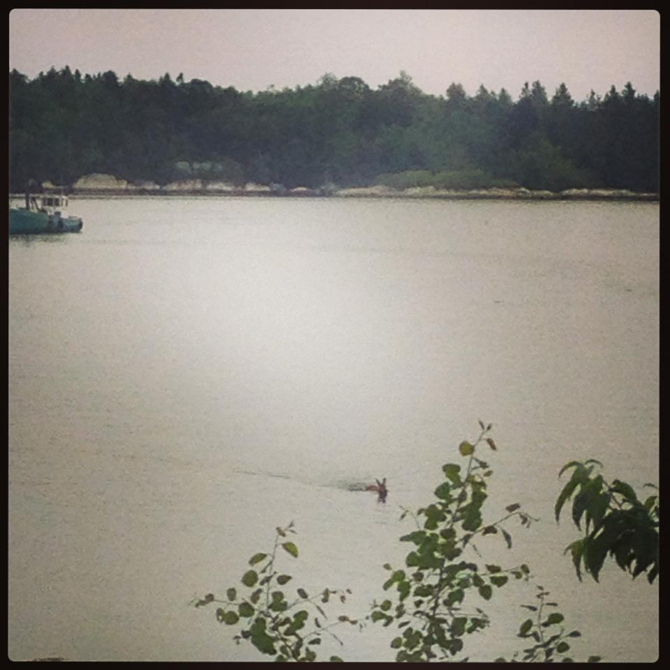 That would be a mature doe swimming across the Keag.