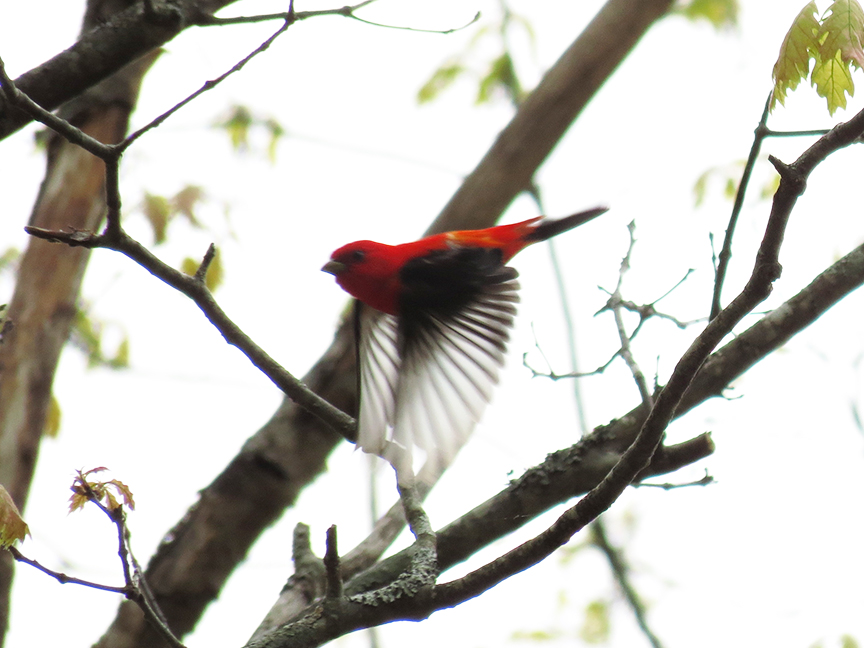 Tanager flight