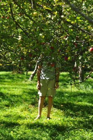 Apple Picking at Sewalls