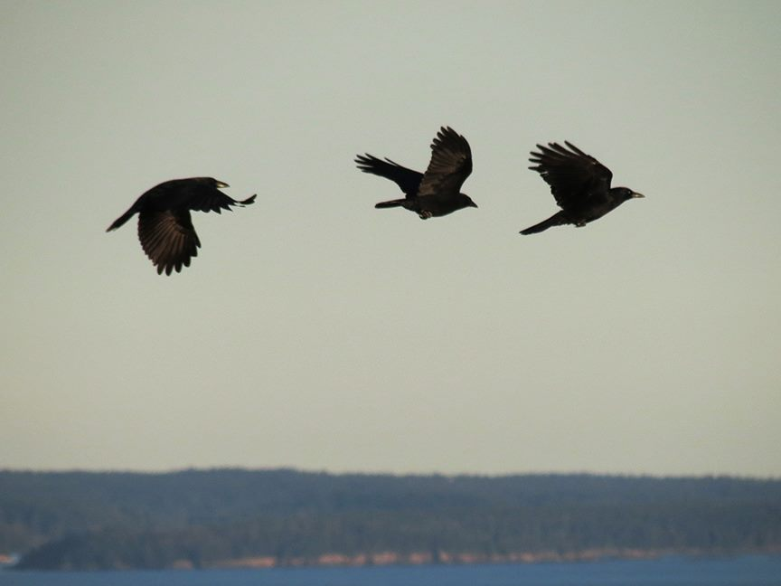 Three crows (Beech Hill Preserve, 09 October 2013).