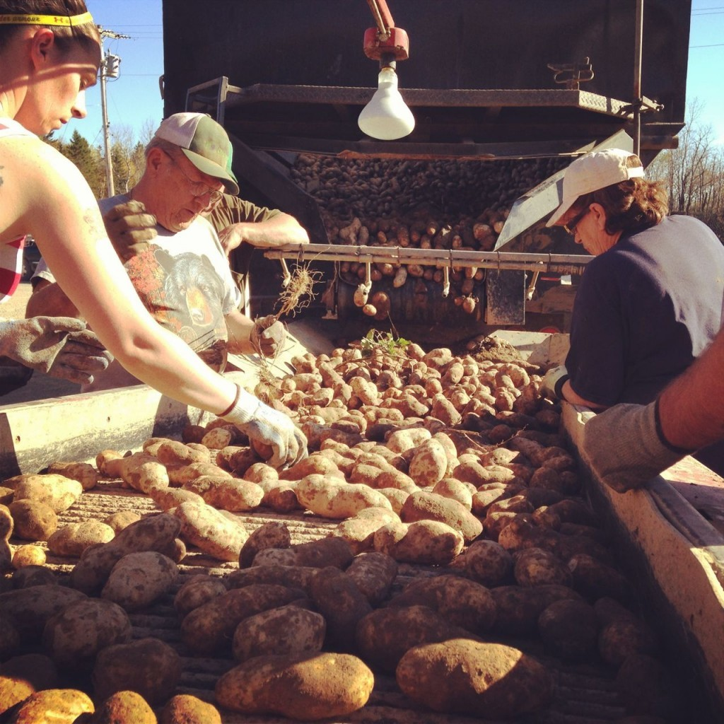 sorting+potatoes-
