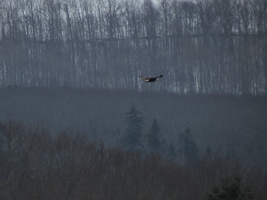 Bald Eagle (from Beech Hill Preserve, 11 March 2014).
