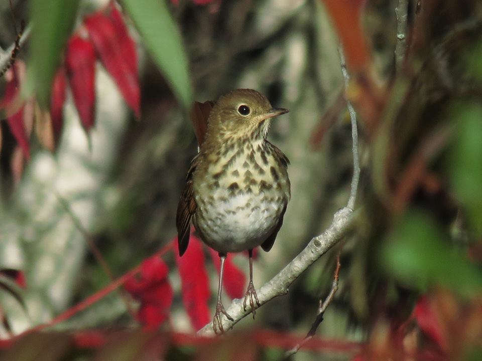 Hermit Thrush (Beech Hill Preserve, 12 October 2014).
